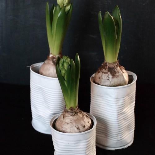 Hyacint i burkar
