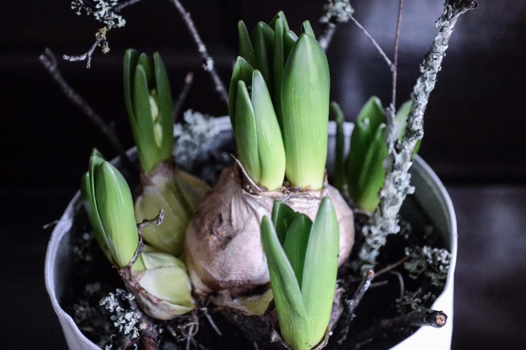 hyacint-5